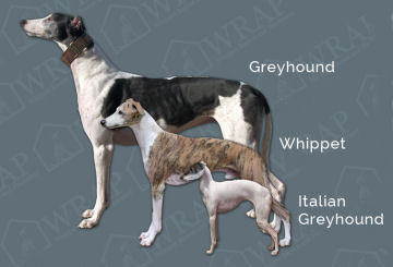 Questions and Answers About Whippets |