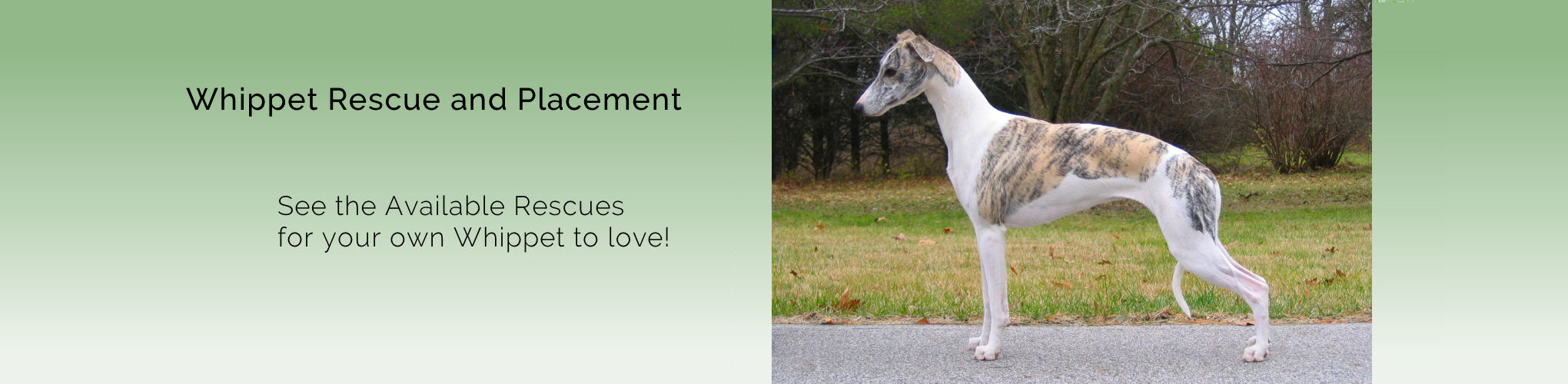 Whippet Rescue and Placement